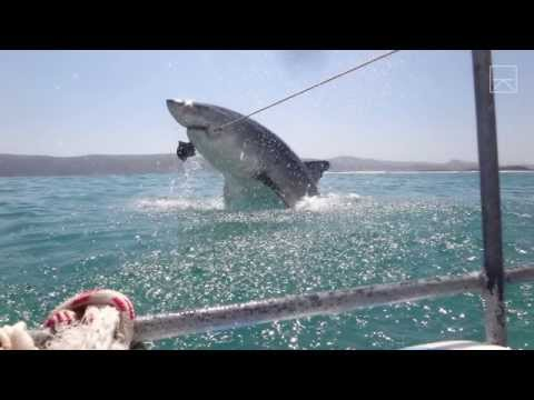 Thumbnail: A Great White Shark Breached & Just Missed Us!