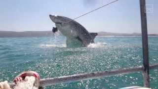 a great white shark breached just missed us
