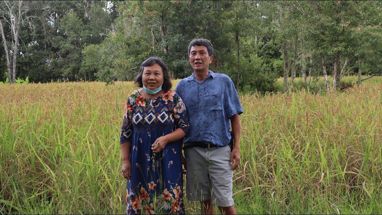 វាលស្រែនៅរដ្ឋផ្លរីដា /ម៉ាស៊ីនកិនស្រូវខ្នាតតូចសម្រាប់ប្រើក្នុងគ្រួសារ / Rice fields in Florida