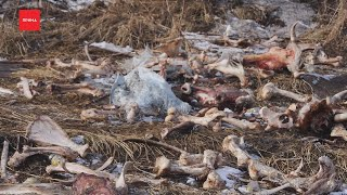 Кости и черепа животных обнаружили рыбаки на берегу Енисея
