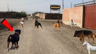 Este ROTTWEILER se encuentra con perros poderosos de la Calle.