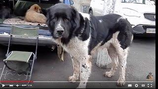 ОГРОМНЫЙ АЛАБАЙ СТЕПНОЙ БАРС.A huge dog Alabai.Odessa.