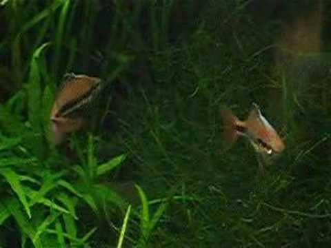 Melanotaenia Trifasciata Wong Creek