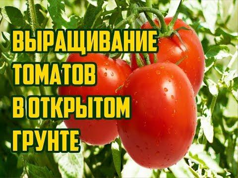 Как вырастить помидоры в открытом грунте