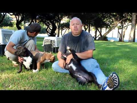 BLAST.TV CACHORROS AMERICAN BULLY DIEGO GARCIA WORLD BULLIE ASSOCIATION
