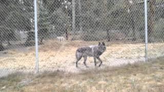 Wolf Haven International - howling