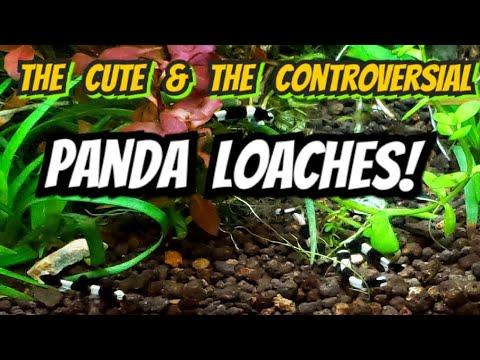 Okay, Let's Talk Panda Loaches - Controversy, History & Care For The Cutest Nano Fish Species