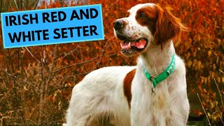 Irish Red and White Setter  TOP 10 Interesting Facts