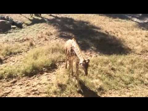 Animal Discoveries S1 E9: Giraffes