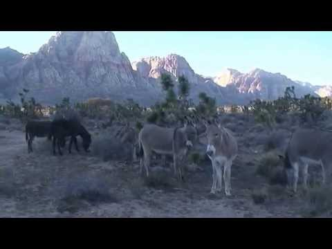 Wild Burros of Red Rock Canyon