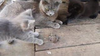 Кошка обучает Котят ловле мышей Передача информации через хвост