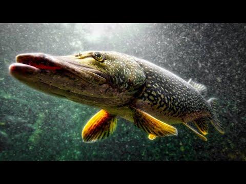 ТОП 20 ЛУЧШИЕ АТАКИ ЩУКИ НА ЖИВЦА! Рыбалка на жерлицы. Подводная съемка