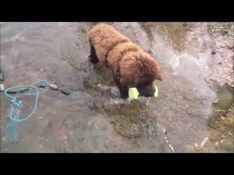 Newfoundland dog Monty First Four Months Part Three Water  Training