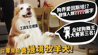 【從零開始養】邊境牧羊犬!狗界愛因斯坦!可以聽懂人類多少字?狗界舞王第三名!【許伯簡芝】Border Collie