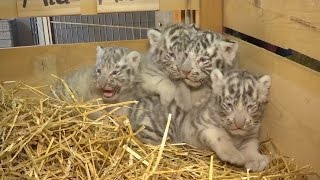 4 Rare White Tiger Cubs With Blue Eyes Cry Out While on Display for First Time