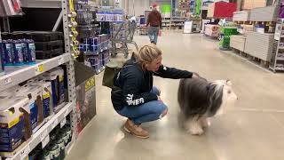 Best Dog Training Toledo, Ohio! 2 Year Old Bearded Collie, Cooper!