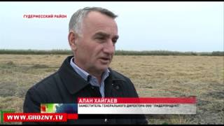 Чеченские аграрии завершают уборку риса