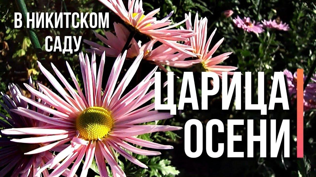 Осень 🌺 Хризантемы в Никитском саду 🎨Буйство красок ️ ...