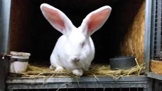 Купить кролика породы Бельгийский великан(, 2016-01-26T17:21:08.000Z)
