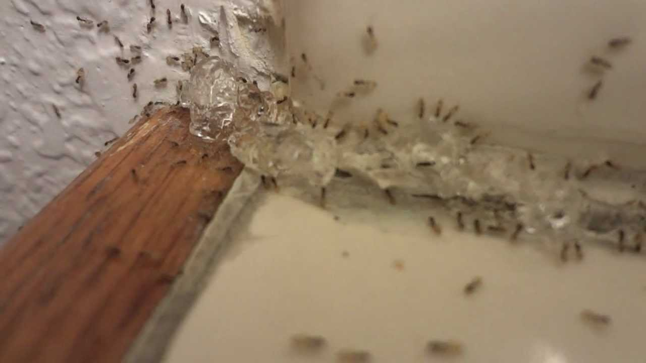 Little Ants In Bathroom Ghost Ants Invade A Bathroom  Youtube