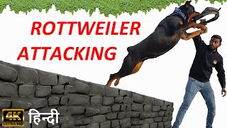 Dog Training - How to Train Your Dog to Attack For Your Safety Purpose !! Rottweiler Attacking Hindi
