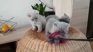 British Shorthair - Someone envies us. Cattery Calmcat