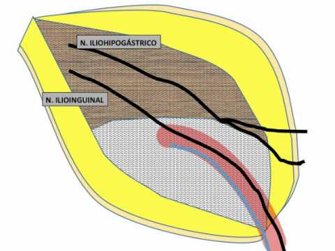 NERVES AT THE INGUINAL CANAL