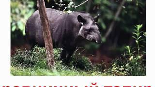 Животные непарнокопытные и мозоленогие звук