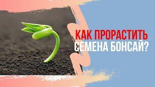 Как правильно проращивать семена Бонсай