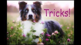 Amazing Dog Tricks, Australian Shepherd Loke (lp1 Kalote's Spark) Clicker Training