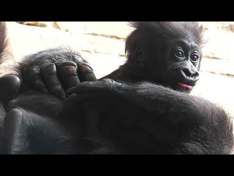 Gorilla Video -Zoo Hannover