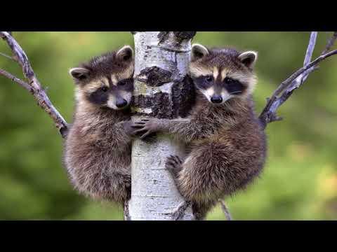 Lustige Waschbären - Crazy Raccoons    Funny Movies and Moments #17 / Raccoons Compilatio - Cмотреть видео онлайн с youtube, скачать бесплатно с ютуба