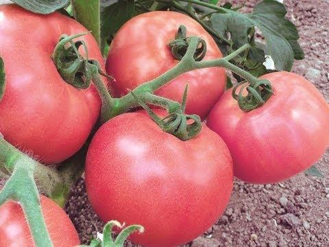 Сорта томатов, описание сортов томатов