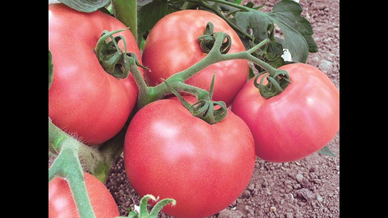 томаты семена лучшие низкорослые