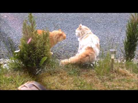 Whiskey's Fight (Two cats fighting)