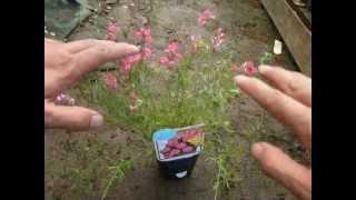 バーベナを改良した育てやすいタピアンの品種とその特徴。 動画作成:花...