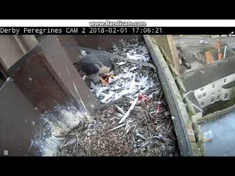 Derby GB - Female has dinner in the nest , departure with rest  food - 2018 02 01 16 00