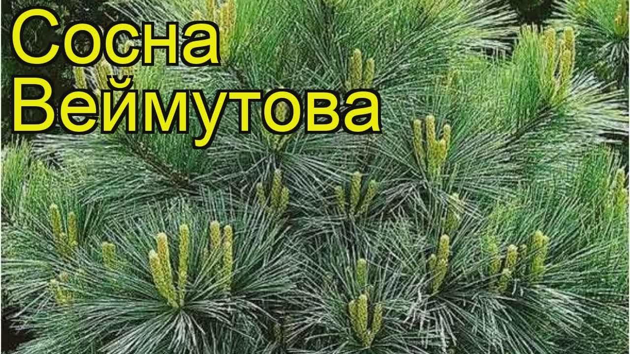 Сосна веймутова Радиата (pinus strobus radiata) 🌿 Радиата обзор .