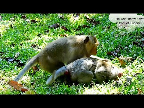 Download Youtube: Very bad King Donkey often bite all female monkey in group,Pity Jane and baby cry loudly