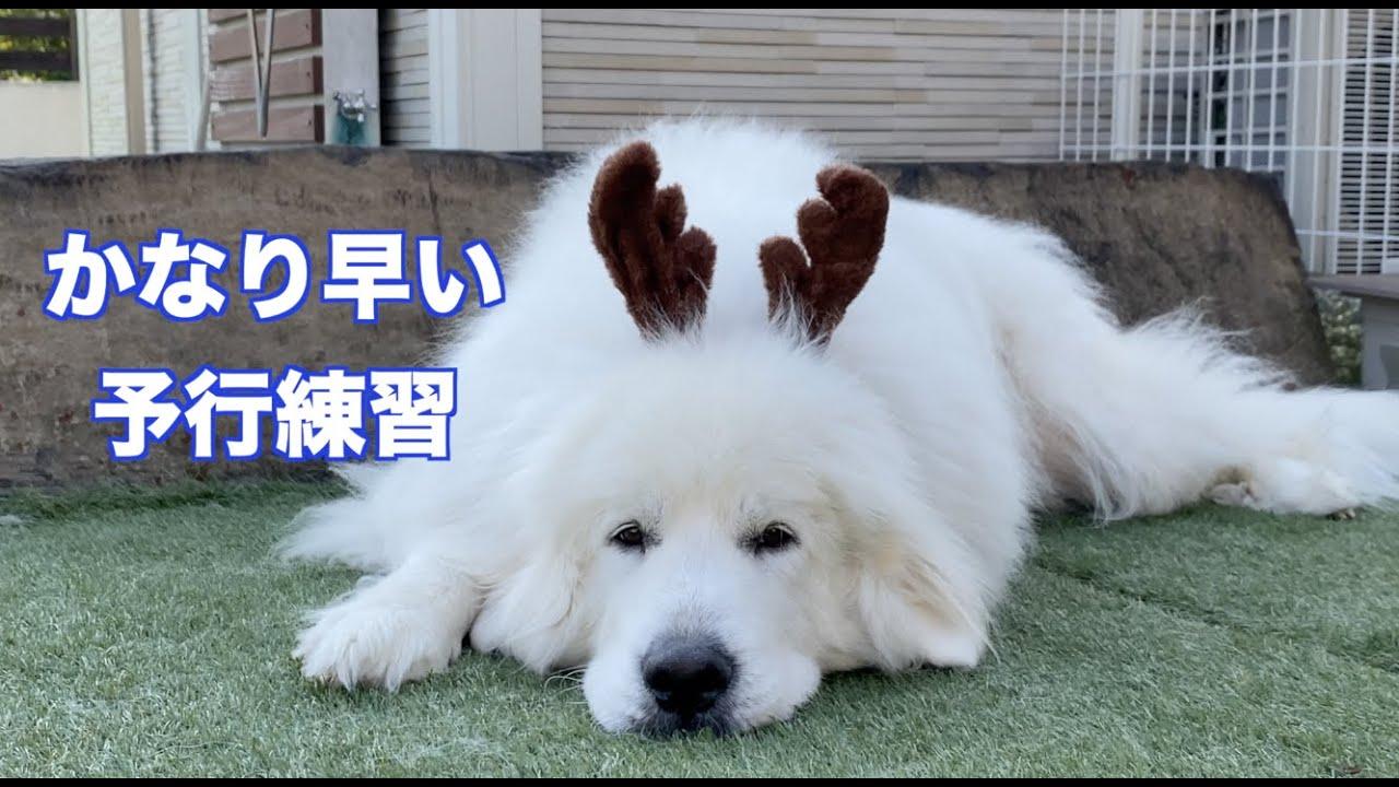 クリスマス予行練習 グレートピレニーズ