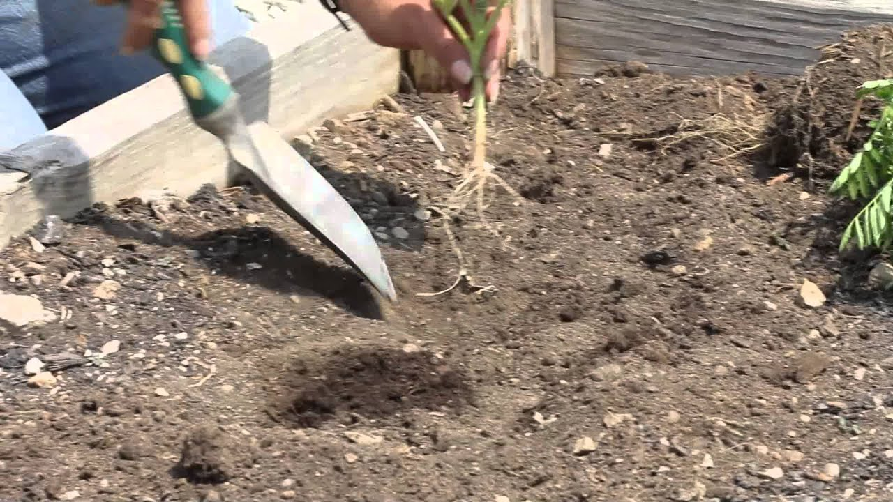 How to Plant Marigolds Next to Food Plants : Marigold Gardening