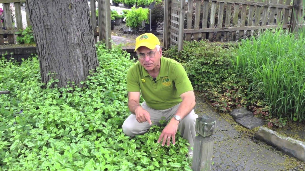 Landscaping Ideas - For Dry Shady Areas - Yellow Archangel ... on Shady Yard Ideas id=71976