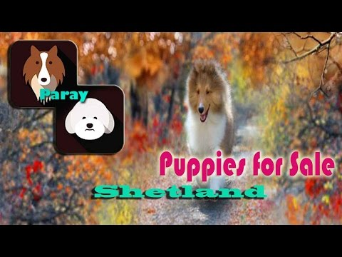 Paray Shelties - Puppies For Sale