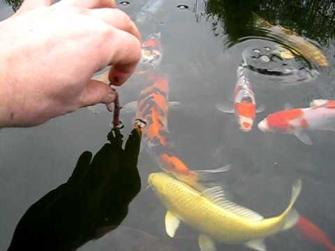 Feeding my koi fish with worms youtube for What to feed koi fish