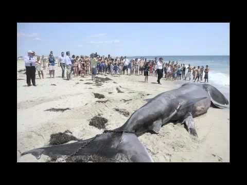 Giant Shark (Megalodon?) found on Florida beach - YouTube