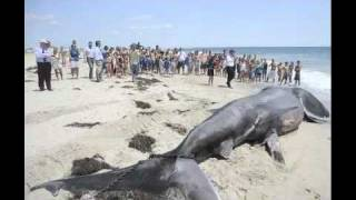 Giant Shark (Megalodon?) found on Florida beach