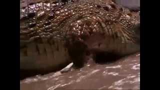 Crocodiles Destroy Gazelle Herd Crossing River