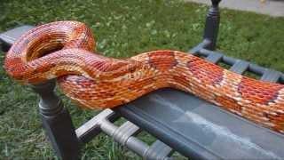 Corn Snake Update ~ Harvey Wallbanger