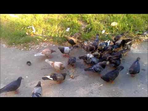 голуби каннибалы. Dove-cannibals