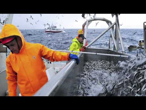 Capelin Fishing In Norway